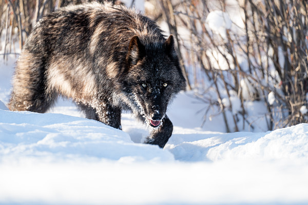 Wolf's Gaze
