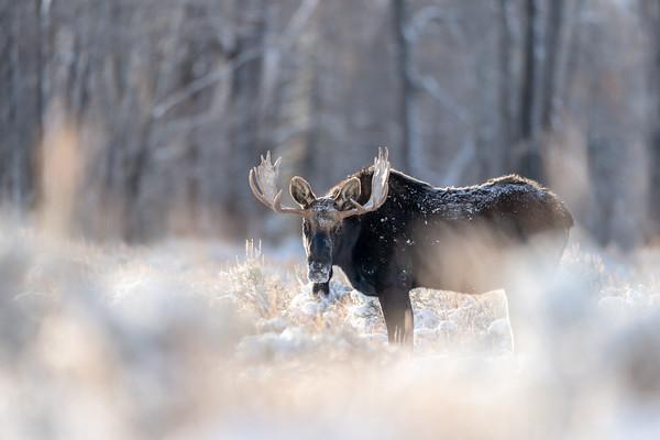 Moose Magic