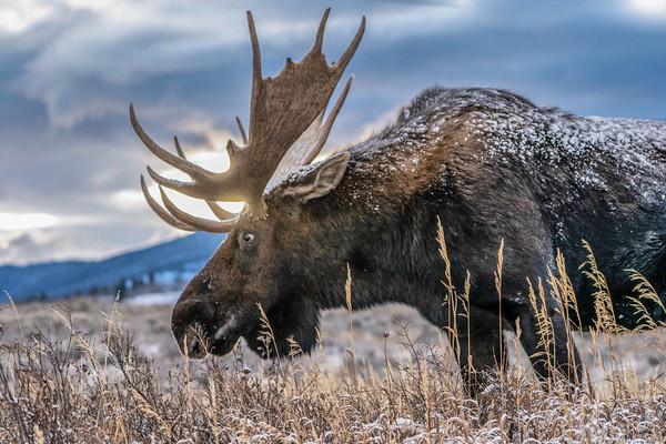 Golden Hour Moose
