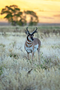 Autumn Pronghorn