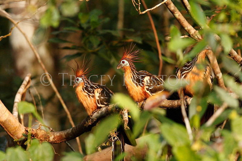Hoatzin (Opisthocomus hoazin)<br /> <br /> You may purchase a print or a digital download. If purchasing a digital download please look at the licensing agreement terms for personal or commercial use.