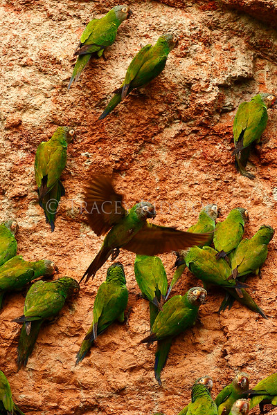 Dusky-headed Parakeet (Aratinga weddellii)<br /> <br /> You may purchase a print or a digital download. If purchasing a digital download please look at the licensing agreement terms for personal or commercial use.