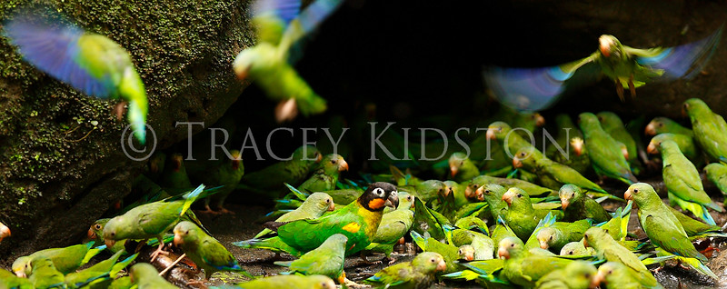 Colbalt-winged Parakeet (Brotogeris cyanoptera)<br /> Orange-cheeked Parrot (Pyrilia barrabandi)<br /> <br /> You may purchase a print or a digital download. If purchasing a digital download please look at the licensing agreement terms for personal or commercial use.