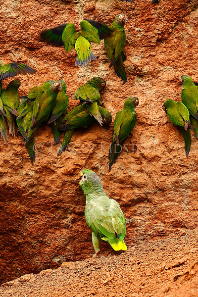 Mealy Parrot (Amazona farinosa)<br /> <br /> You may purchase a print or a digital download. If purchasing a digital download please look at the licensing agreement terms for personal or commercial use.
