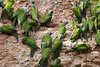 Dusky-headed Parakeet<br /> (Aratinga weddellii)