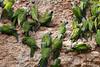 Dusky-headed Parakeet<br /> (Aratinga weddellii)