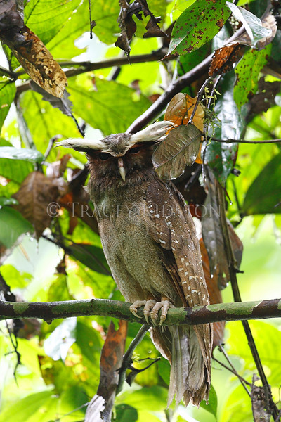 Crested Owl (Lophostrix cristata)<br /> <br /> You may purchase a print or a digital download. If purchasing a digital download please look at the licensing agreement terms for personal or commercial use.