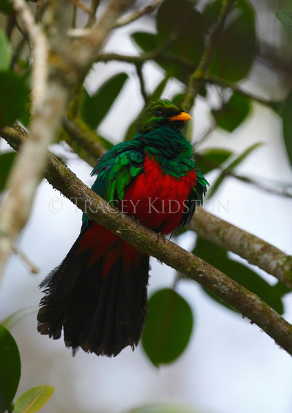 Golden-headed Quetzal<br /> (Pharomachrus auriceps)<br /> <br /> You may purchase a print or a digital download. If purchasing a digital download please look at the licensing agreement terms for personal or commercial use.
