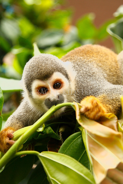 Squirrel Monkey (Saimiri sciureus)<br /> <br /> You may purchase a print or a digital download. If purchasing a digital download please look at the licensing agreement terms for personal or commercial use.