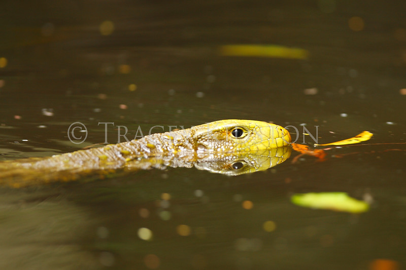 Caiman Lizard (Dracaena guianensis)<br /> <br /> You may purchase a print or a digital download. If purchasing a digital download please look at the licensing agreement terms for personal or commercial use.