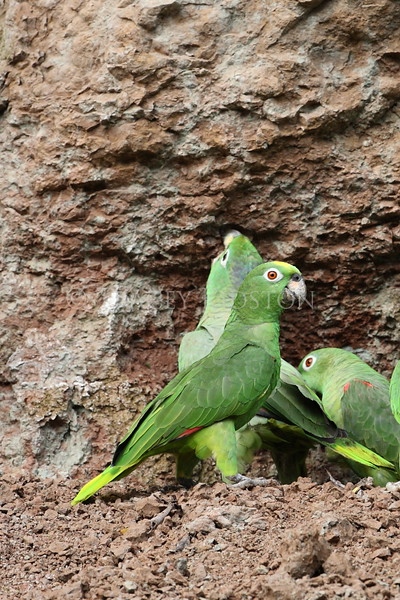 Yellow-crowned Parrot<br /> (Amazona ochrocephala)