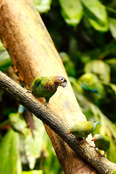 Orange-cheeked Parrot (Pyrilia barrabandi)<br /> <br /> You may purchase a print or a digital download. If purchasing a digital download please look at the licensing agreement terms for personal or commercial use.
