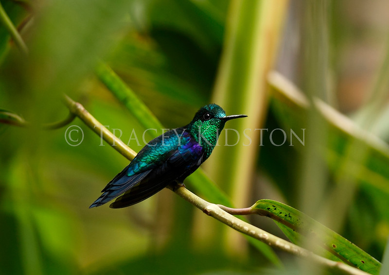 Green-crowned Woodnymph<br /> (Thalurania fannyi)<br /> <br /> You may purchase a print or a digital download. If purchasing a digital download please look at the licensing agreement terms for personal or commercial use.