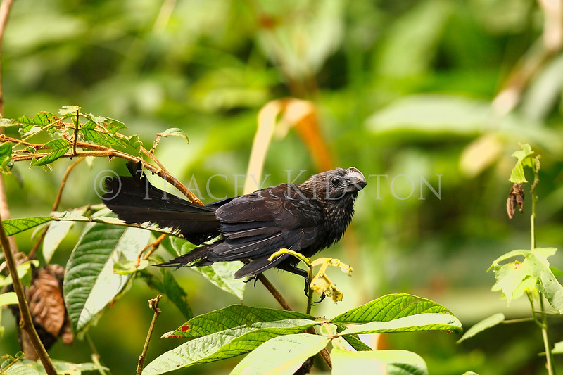 Smooth-billed Ani (Crotophagu ani)<br /> <br /> You may purchase a print or a digital download. If purchasing a digital download please look at the licensing agreement terms for personal or commercial use.