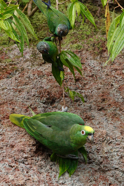 Yellow-crowned Parrot (Amazona ochrocephala)<br /> <br /> You may purchase a print or a digital download. If purchasing a digital download please look at the licensing agreement terms for personal or commercial use.