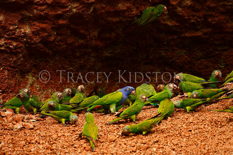 Dusky-headed Parakeet (Aratinga weddellii)<br /> Blue-headed Parrot (pionus menstruus)<br /> <br /> You may purchase a print or a digital download. If purchasing a digital download please look at the licensing agreement terms for personal or commercial use.