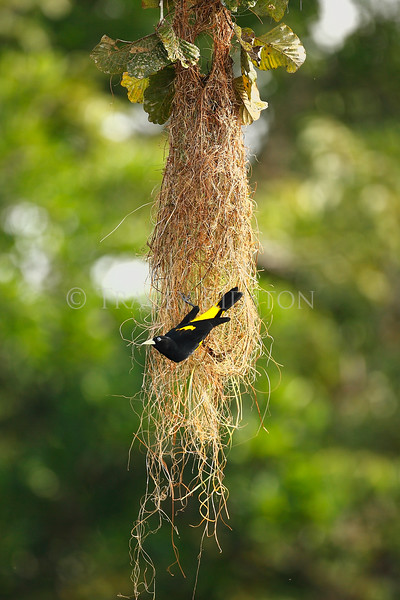 Yellow-rumped Cacique (Cacicus cela)<br /> <br /> You may purchase a print or a digital download. If purchasing a digital download please look at the licensing agreement terms for personal or commercial use.
