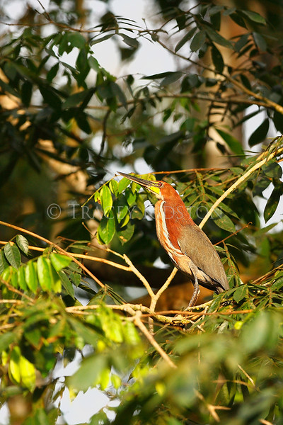 Rufescent tiger-heron(Tigrisoma lineatum)<br /> <br /> You may purchase a print or a digital download. If purchasing a digital download please look at the licensing agreement terms for personal or commercial use.