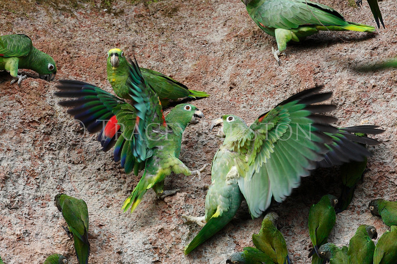 Yellow-crowned Parrot (Amazona ochrocephala)<br /> Mealy Parrot (Amazona farinosa)<br /> <br /> You may purchase a print or a digital download. If purchasing a digital download please look at the licensing agreement terms for personal or commercial use.