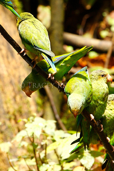 Colbalt-winged Parakeet (Brotogeris cyanoptera)<br /> <br /> You may purchase a print or a digital download. If purchasing a digital download please look at the licensing agreement terms for personal or commercial use.