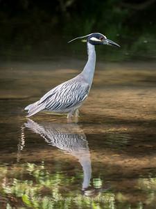 Yellow Crown Night Heron-19 June 2017-9837