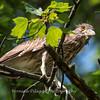Black Crowned Night Heron 19 June 2017-  9898