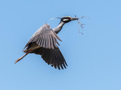 Herons Culler Lake 28 Apr 2018-9645