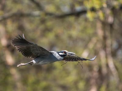 Herons Culler Lake 28 Apr 2018-9602
