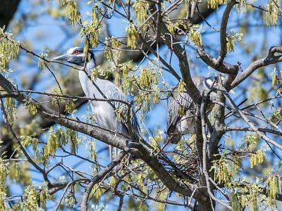 Herons Culler Lake 28 Apr 2018-9617
