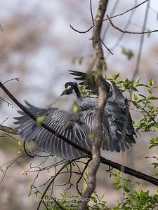 Yellow-Crowned Night Herons 23 Apr 2018-8771