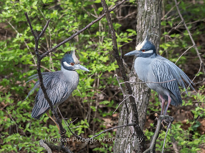 Yellow-Crowned Night Herons 23 Apr 2018-8730