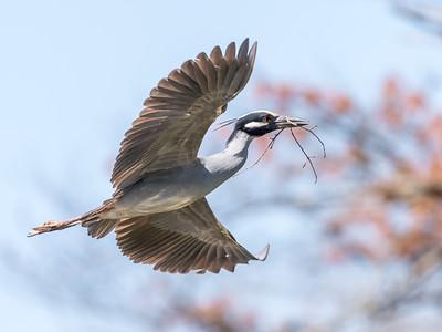 Herons Culler Lake 28 Apr 2018-9607