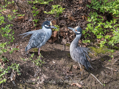 Yellow-Crowned Night Herons 23 Apr 2018-8694