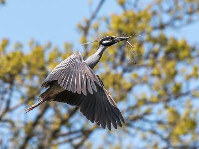 Herons Culler Lake 28 Apr 2018-9642