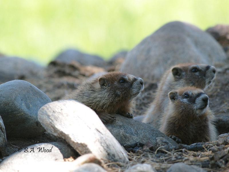 MF 216<br /> <br /> Baby rockchucks (Marmota flaviventris).