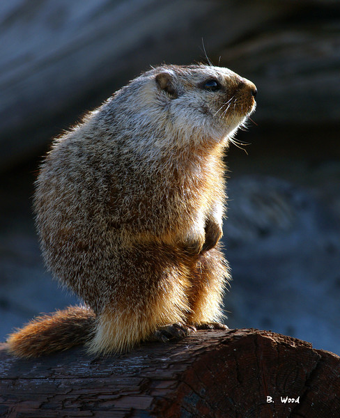 MF 06AP5497<br /> <br /> Juvenile female Yellow-bellied Marmot (Marmota flaviventris).