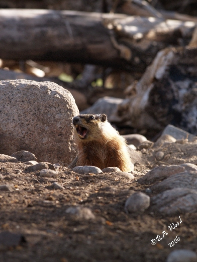 """MF 028<br /> <br /> Adult Yellow-bellied Marmot - aka Rockchuck.<br /> (Marmota flaviventris)<br /> <br /> """"Barking"""" - actually a loud chirping that is a warning to other marmots of a threat in the area.  It varies on the type of threat."""