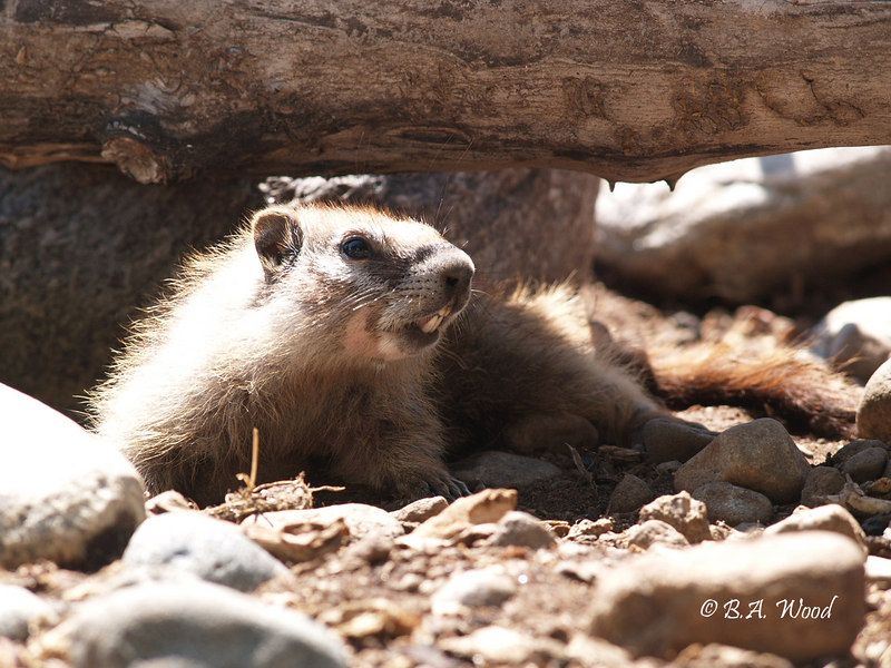 MF 132<br /> <br /> Baby rockchuck (Marmota flaviventris).<br /> <br /> If you'll notice, this one has very distinctive markings around its face.
