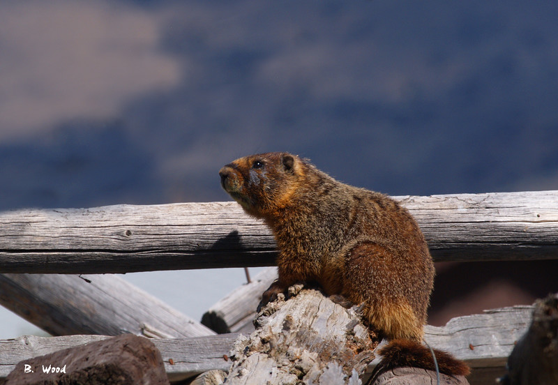 MF 5239<br /> <br /> Adult Male Yellow-bellied Marmot (Marmota flaviventris).
