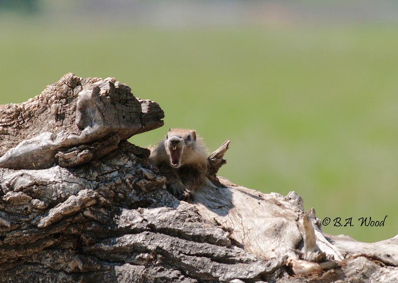 MF 045<br /> <br /> Baby rockchuck (Marmota flaviventris).
