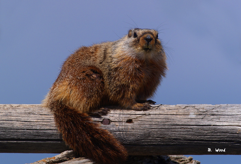 MF 06AP5382<br /> <br /> Juvenile female Yellow-bellied Marmot (Marmota flaviventris).