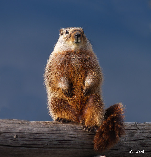 MF 07AP5853<br /> <br /> Juvenile female Yellow-bellied Marmot (Marmota flaviventris).