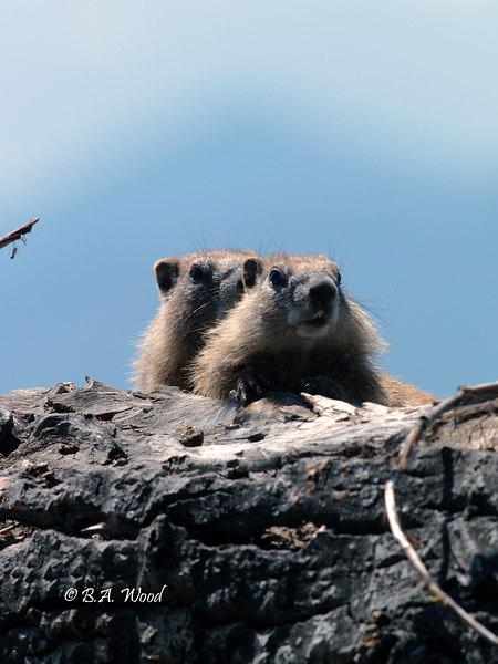 MF 121<br /> <br /> Baby rockchucks (Marmota flaviventris).