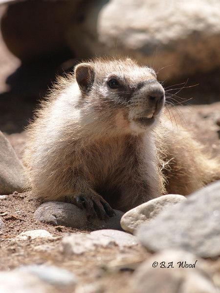 MF 158<br /> <br /> Baby rockchuck (Marmota flaviventris).