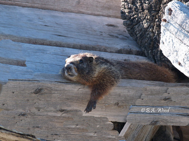 """MF 4692<br /> <br /> Adult rockchuck (Marmota flaviventris).<br /> <br /> He just relaxed and watched me as I was taking photos of him.<br /> <br /> The early settlers called them """"Whistle Pigs."""""""