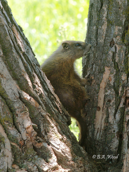 MF 187<br /> <br /> Young Yellow-bellied marmot (Marmota flaviventris).<br /> <br /> He was actually holding himself here by putting his back against one tree and his feet on the other tree.