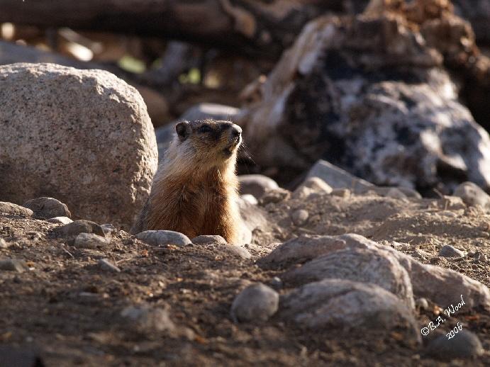 MF 018<br /> <br /> Adult Yellow-bellied Marmot - aka Rockchuck.<br /> (Marmota flaviventris)
