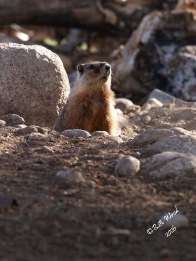 MF 014<br /> <br /> Adult Yellow-bellied Marmot - aka Rockchuck.<br /> (Marmota flaviventris)
