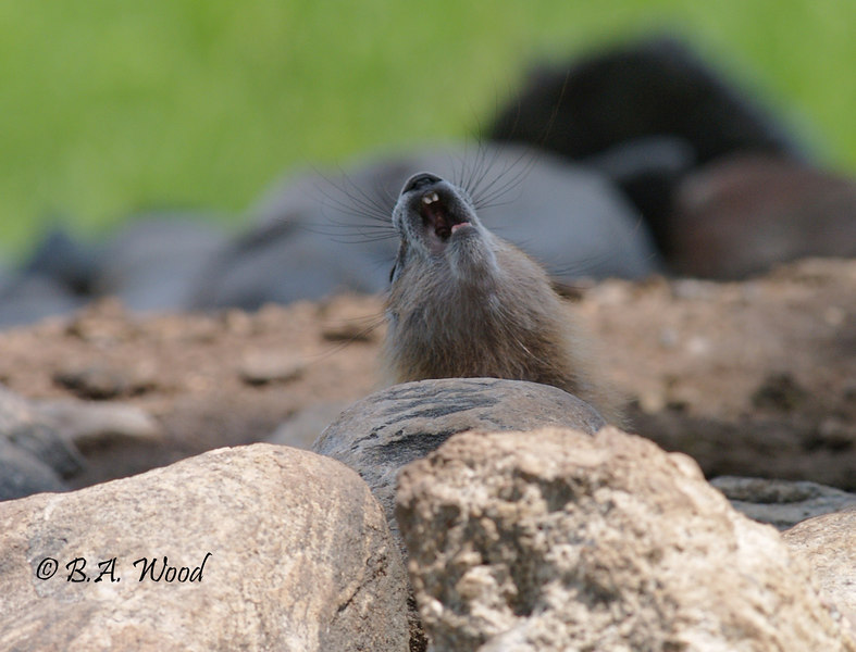 MF 251<br /> <br /> Baby rockchuck or yellow-bellied marmot(Marmota flaviventris).<br /> <br /> This is one is yawning.  They love to lay in the sun and sleep.