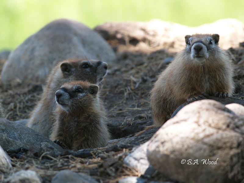 MF 215<br /> <br /> Baby rockchucks (Marmota flaviventris).